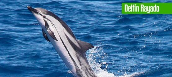 9 Tipos increíbles de delfines en México - Delfín Clymene