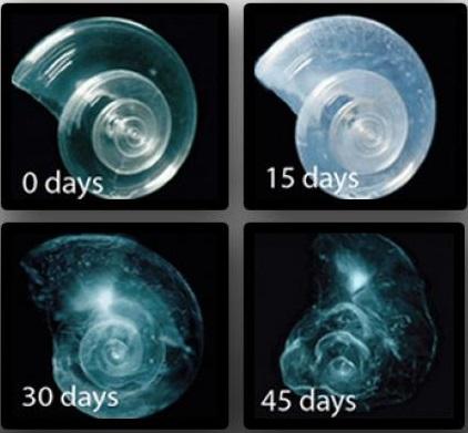 pteropods dissolving 45 days-Consequences to Ocean Acidification- Dolphinaris