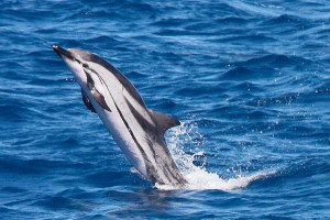 9 Incredible types of dolphins in mexico Striped Dolphin
