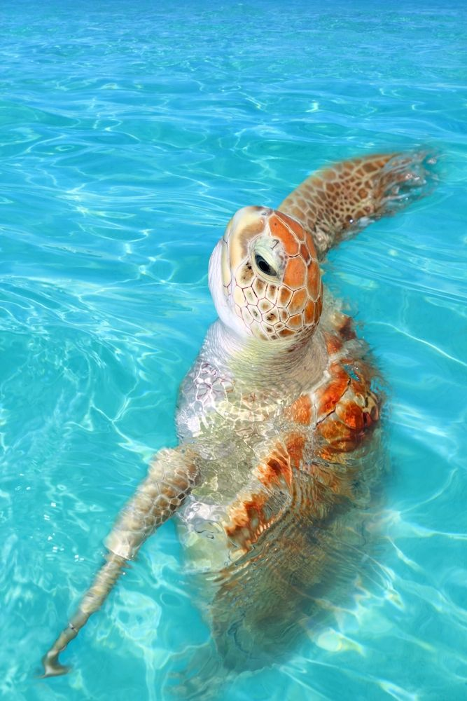 One of the turtles in Tulum.