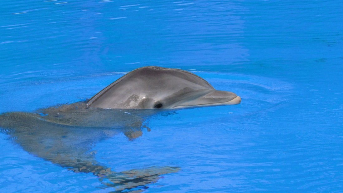 Dolphins love the weather of the Caribbean